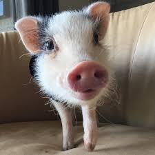 15 cutest pigstagram accounts brit co
