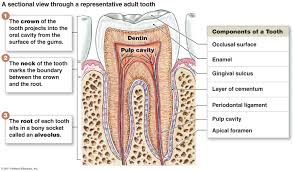 pictures digestive system anatomy diagram teeth human anatomy