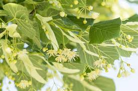 linden flower linden flower on the tree alternative medicine trees