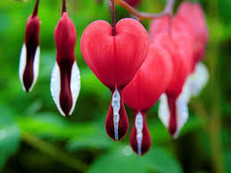 bleeding heart flower how to grow and care for the bleeding heart plant