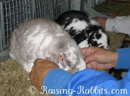 conditioning rabbits for show win with prime fur and show condition