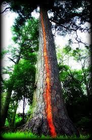 lightning trees exploding ian lunt ecology