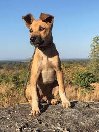belgian malinois jet black this tiny stray dog is helping save endangered african elephants