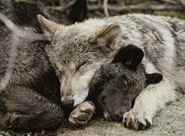 about save the grey wolves