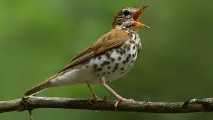 beautiful bird song north america