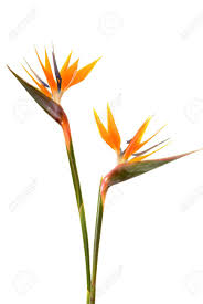 bird of paradise flower bird of paradise flower strelitzia reginae isolated on white