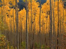 photo collection nature wallpaper aspen trees