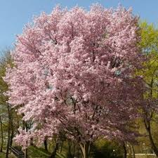cherry blossom trees for sale nature nursery