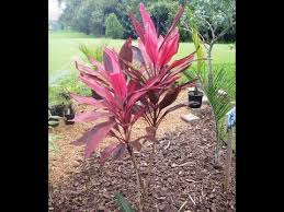 ti plant tropical plants of the dougherty garden how to prevent a