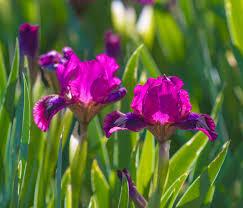 Irises How To Plant Grow by Iris Plants U2013 Tips For Growing Iris