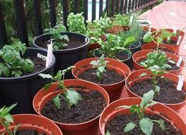 5 gallon bucket tomato gardening container gardening ideas dunneiv