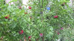 What Fruit Trees Grow In Texas - santa rosa and methley plum self fertile plums for austin texas