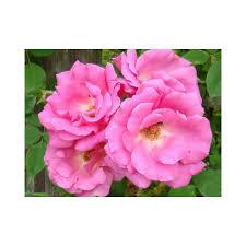 Achat Rosier Grimpant by Rosier Zephirine Drouhin Roses Guillot