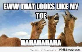 Meme At - eww that looks like my toe funny camel meme image