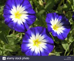 Morning Glory Climbing Plant - blossoms blue botany climbing plant twiners climbing plants color