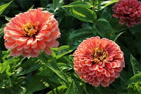 growing annual flowers from seed gardener u0027s supply