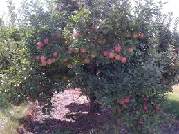 Apple Orchard Collection Home Interiors U Pick Apple Orchards In Lake And Mchenry County 2017 Little