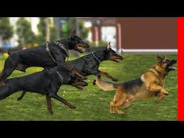 belgian shepherd vs doberman siberian husky vs doberman agaclip make your video clips