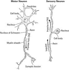 Anatomy And Physiology Nervous System Study Guide A Clinical Overview Of The Nervous System Dummies