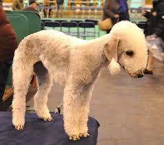 grooming a bedlington terrier puppy breed profile bedlington terrier