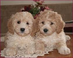 2 month old bichon frise bichpoo dog breed information and pictures