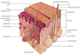 Human Anatomy Integumentary System Human Anatomy Human Anatomy And Physiology Bradford Campus