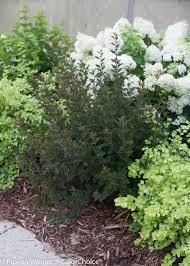 tiny wine ninebark physocarpus opulifolius proven winners