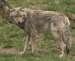 Coyote In My Backyard Living With Urban Suburban Wildlife City Of Bloomington Mn