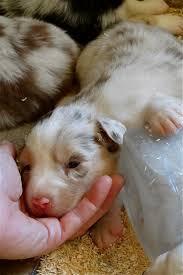 australian shepherd 11 weeks old 18 best aussies images on pinterest australian shepherd puppies