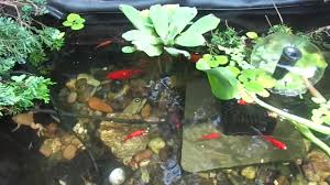 outdoor african clawed frogs and goldfish pond youtube