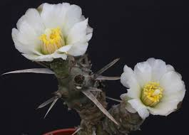 Fig Flower - tephrocactus articulatus in my collection