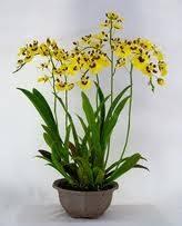 oncidium orchid oncidium orchids my orchid