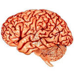 Human <b>brain</b> lateral view Stock