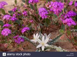 a desert lily and desert sand verbena wildflowers anza borrego