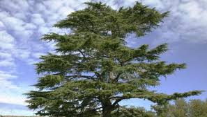 spiritual meaning of the cedar tree synonym