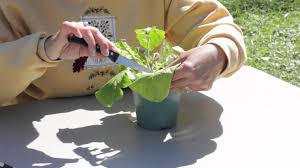 gerbera plant how to prune a gerbera gerbera plant care