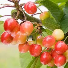 Cherry Tree Fruit - cherry tree u0027napoleon bigarreau u0027 pomona fruits buy fruit trees