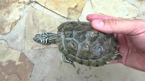 map turtle cagle s map turtle update at 1 year