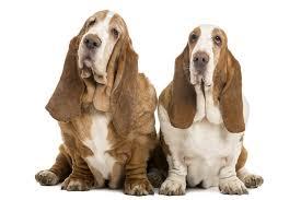 afghan hound least intelligent 21 tough to train dog breeds u2013 dog show