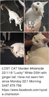 Lost Cat Meme - lost cat marden adelaide 22118 lucky white dsh with ginger tail
