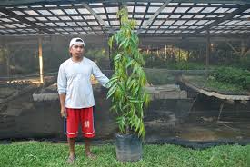 indian tree 2 cainta plant nursery