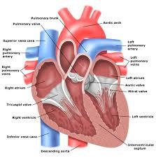 Diagram Heart Anatomy Human Internal Organ Diagram Human Anatomy Charts