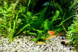 Tropical Aquatic Plants - all about aquatic plants types of water plants petal talk