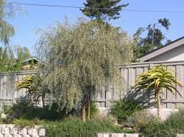 Tree San Diego Weeping Acacia And Tree Aloes Stand Above This Mixed Drought