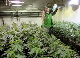 cannabis im garten cannabis grow anleitung guffel