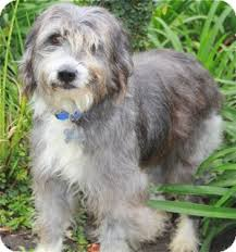 bearded collie x terrier tootsie adoption pending adopted dog norwalk ct bearded