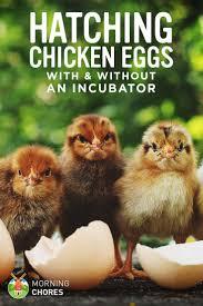 best 25 chicken eggs ideas on pinterest chicken coops raising