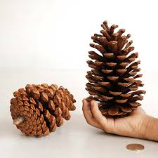 Pine Cone Home Decor Aliexpress Com Buy Natural Big Pinecone Oval Pine Cones Home