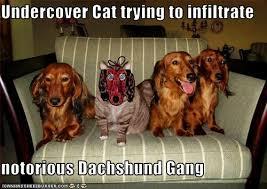 Weiner Dog Meme - dachshund memes dachshunds memes and dog