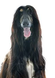 afghan hound pictures afghan hound dogs breed information omlet
